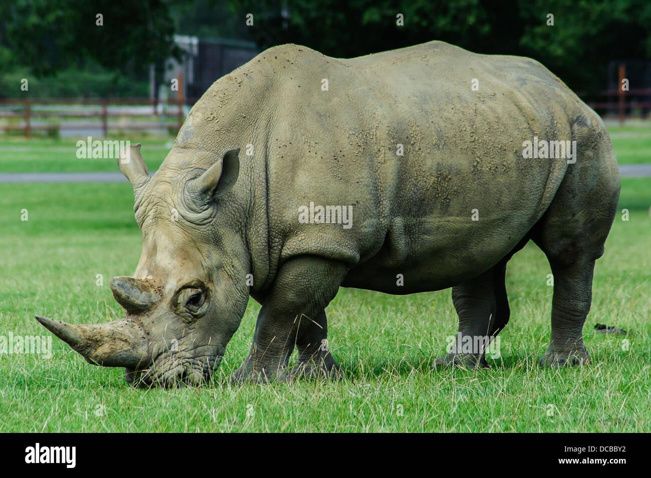 Rhino's at Longleat Animals Wildlife Safari Park - Stock Image
