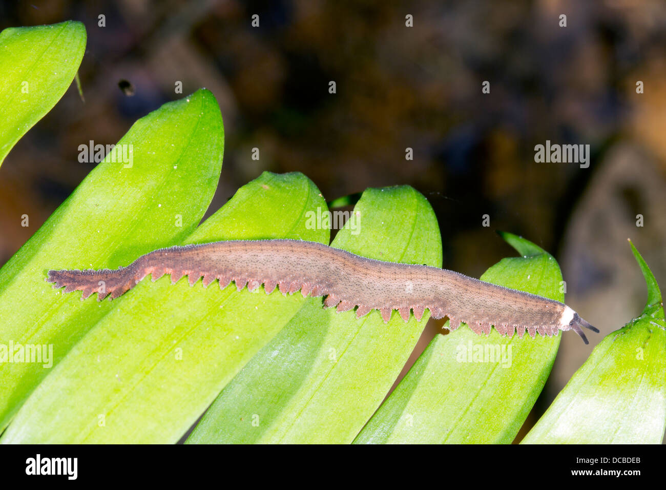 Peripatus walking along a leaf - Stock Image