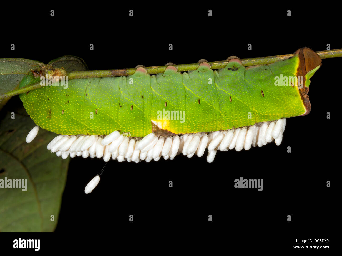 Caterpillar parasitized by Ichneumon wasp, the wasp pupae are hanging under the caterpillar, In the rainforest, - Stock Image