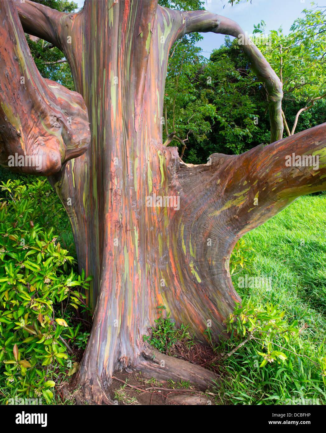 Rainbow Eucalyptus Tree  (Eucalyptus Deglupta) - Stock Image