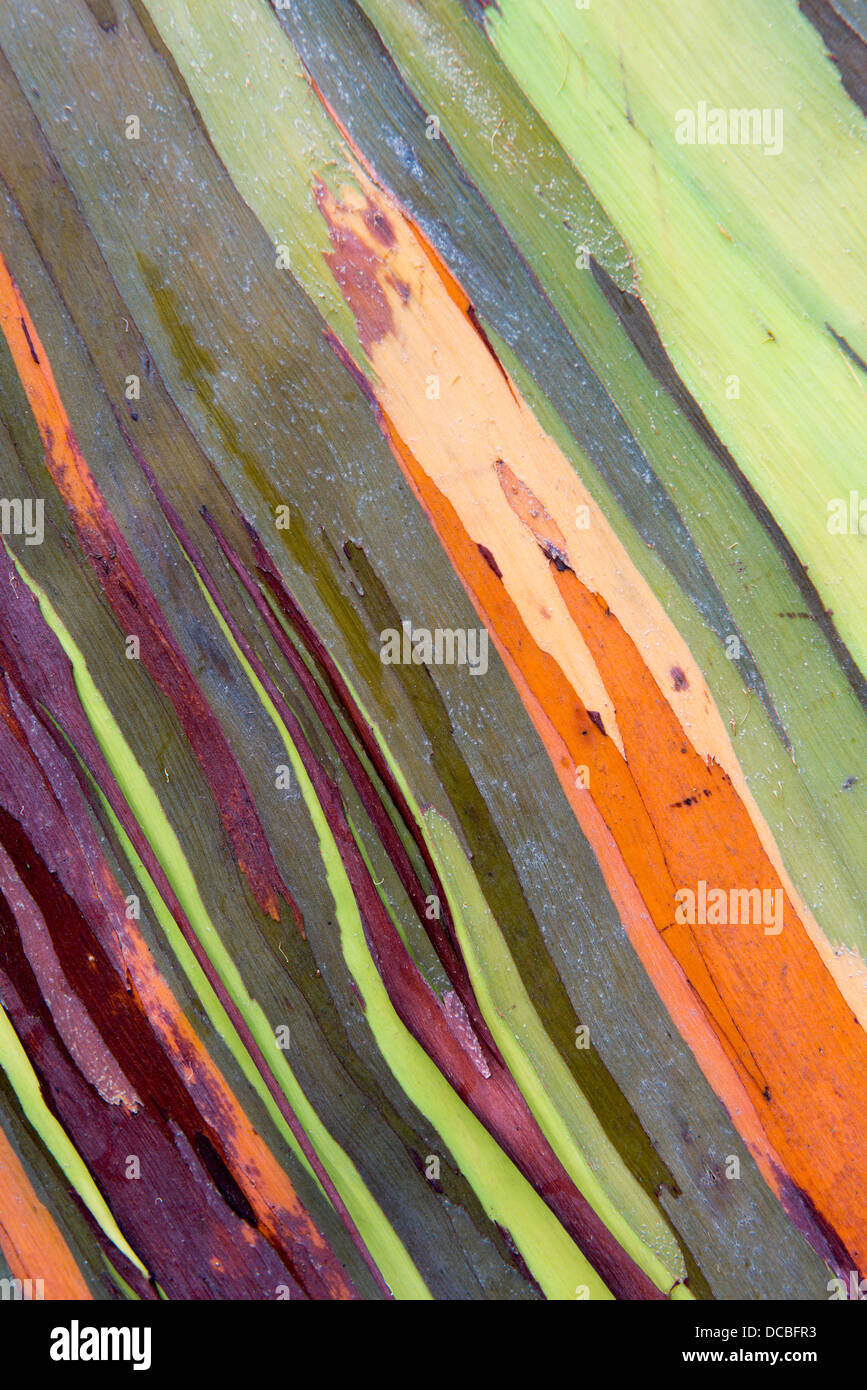 Bark of the Rainbow Eucalyptus (Eucalyptus Deglupta) Stock Photo