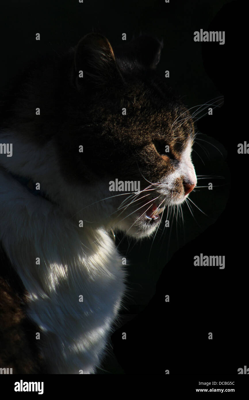 Snarling tabby cat - Stock Image