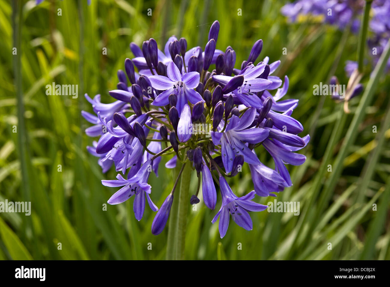 Monocots Alliaceae Narcissus Cyclameneus of the Daffodil family in full bloom inside the Dundee Botanic Gardens, - Stock Image