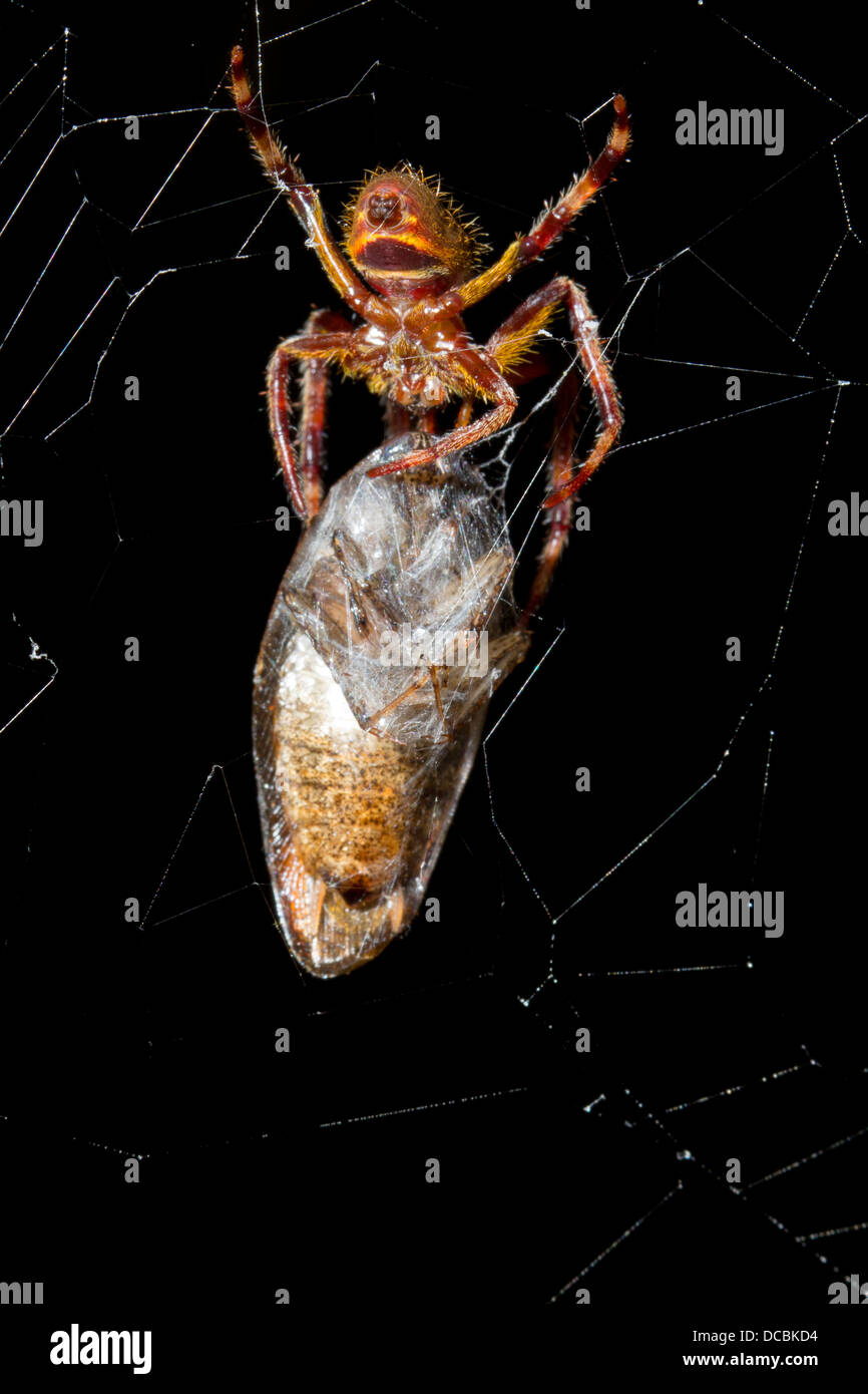 Spider with a recently wrapped prey item, a large cockroach in its web. - Stock Image