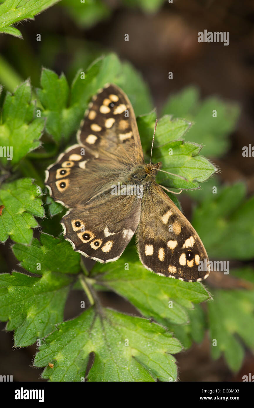 Speckled wood Pararge aegeria, adult, basking on vegetation, Pill Paddock, Bristol, UK in May. - Stock Image