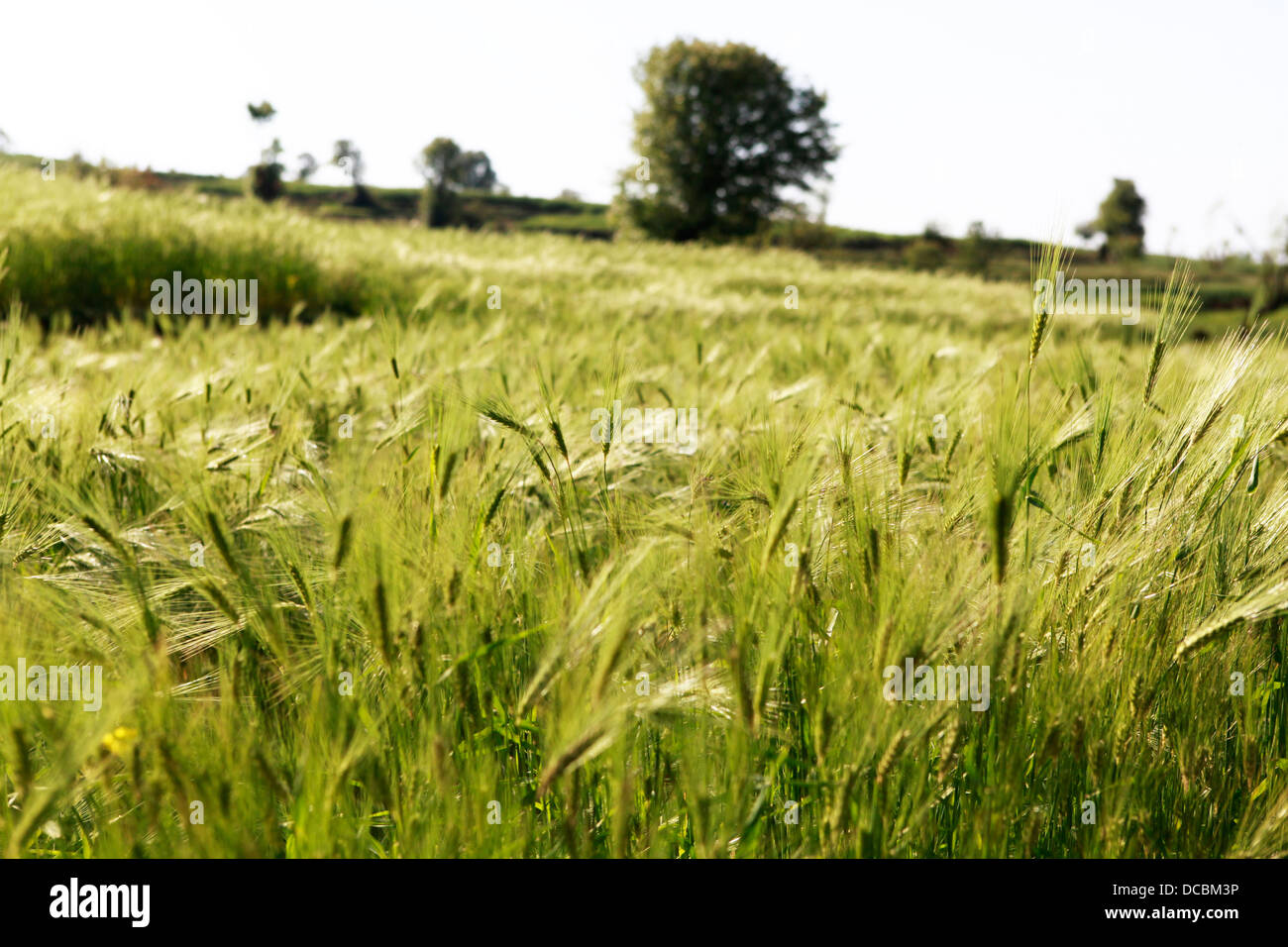 Long grass blows in the wind in Mcleod Ganj, India - Stock Image