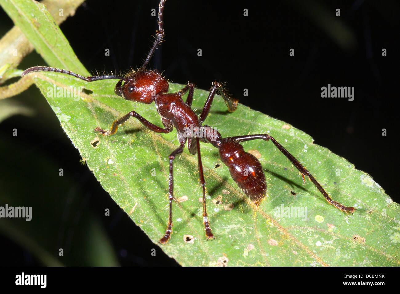 Bullet or Conga Ant (Paraponera clavata) in the rainforest, Ecuador. Stock Photo