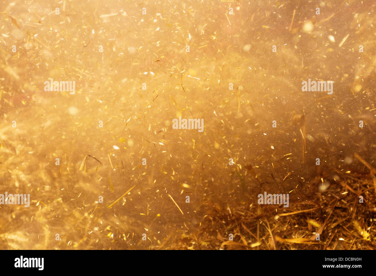 Wheat harvesting. Grains and particles of wheat exploding around during harvest. - Stock Image