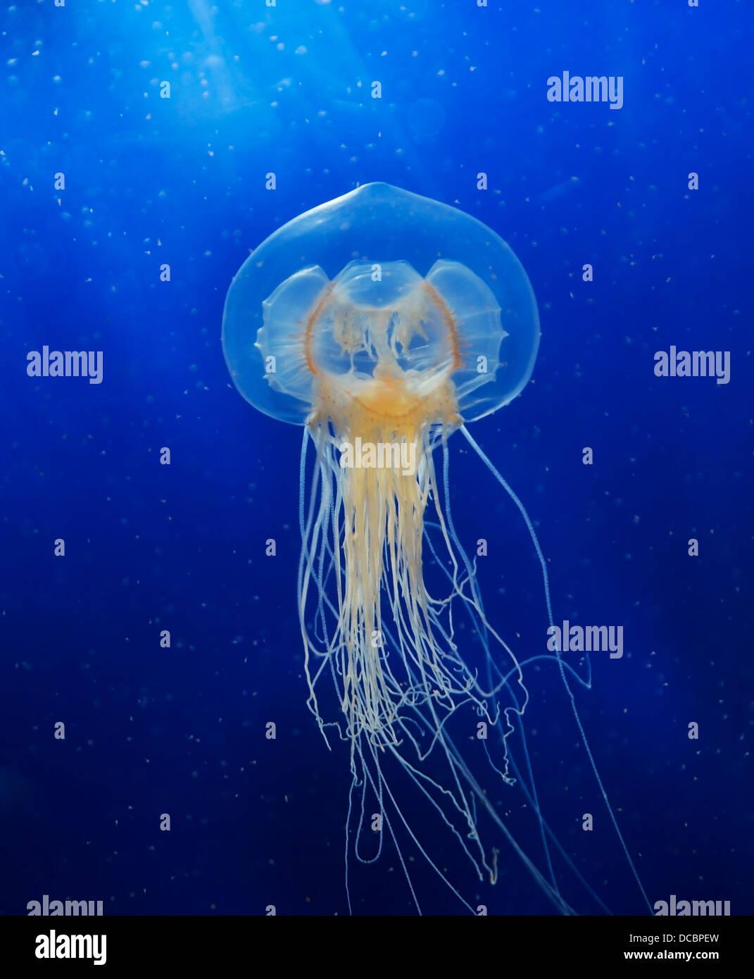 Swimming Jellyfish On Blue Background - Stock Image