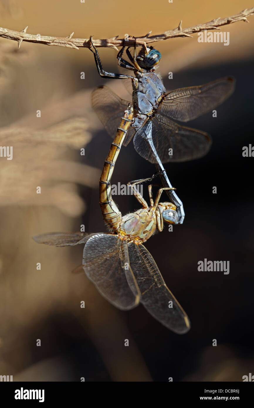 Dragonflies - Stock Image