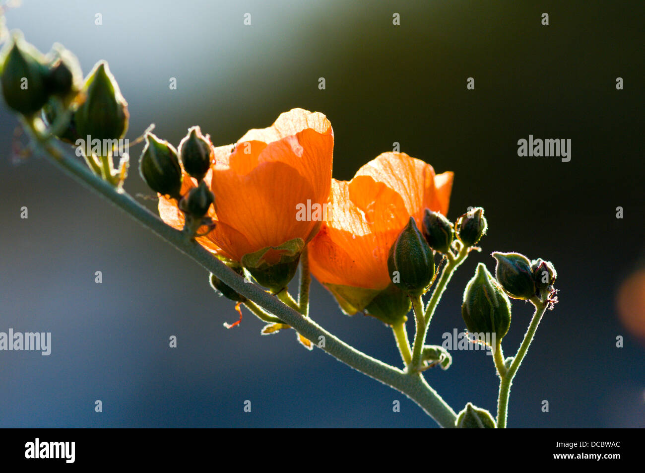Orange flowers of desert mallow close-up and backlit. - Stock Image