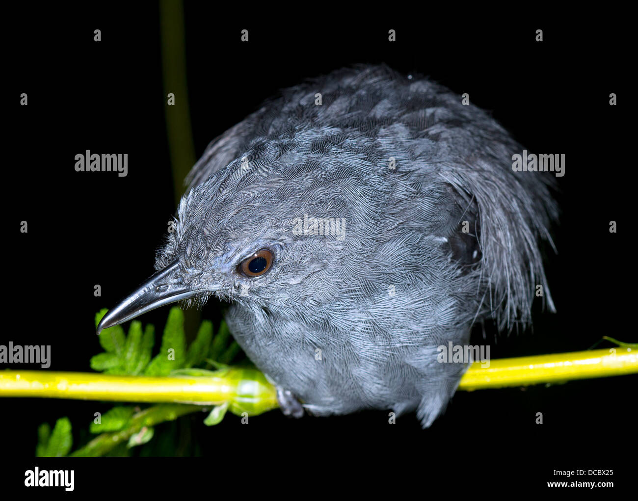 Unidentified bird roosting at night in the rainforest understory, Ecuador - Stock Image