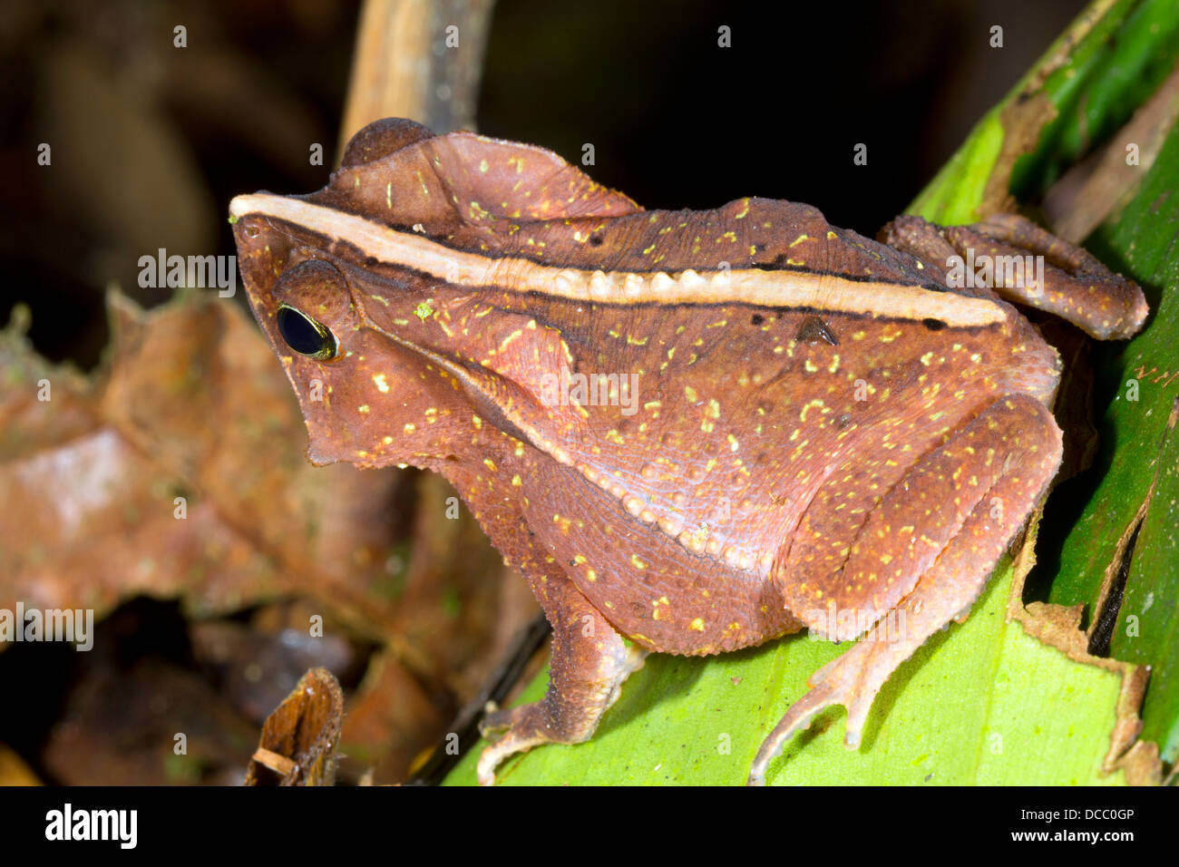 Crested Forest Toad (Rhinella margaritifer), ecuador - Stock Image