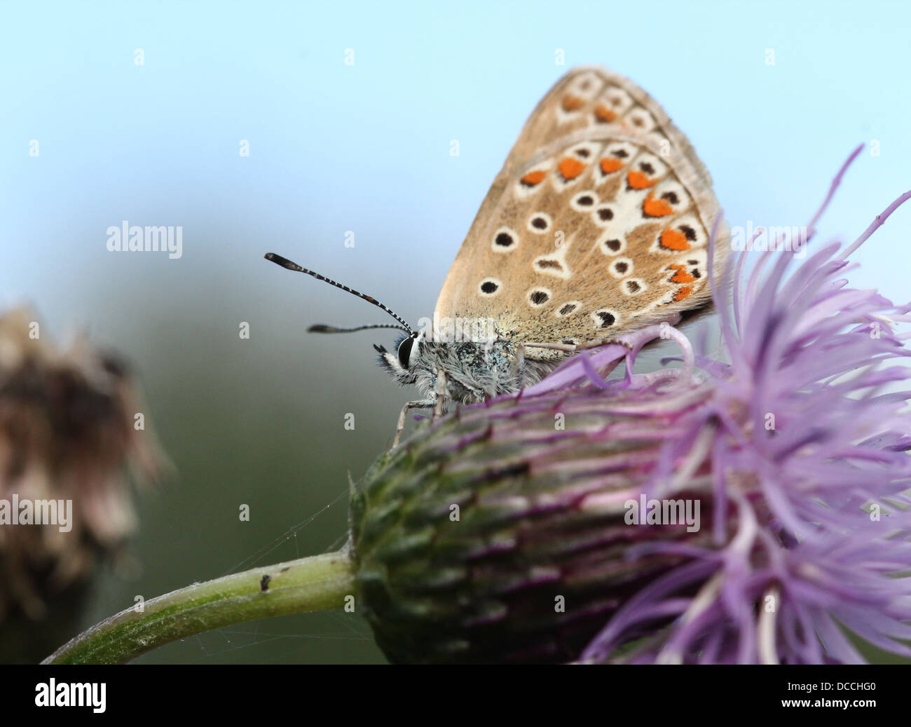 Detailed macro image of a female Common Blue (Polyommatus icarus) butterfly Stock Photo