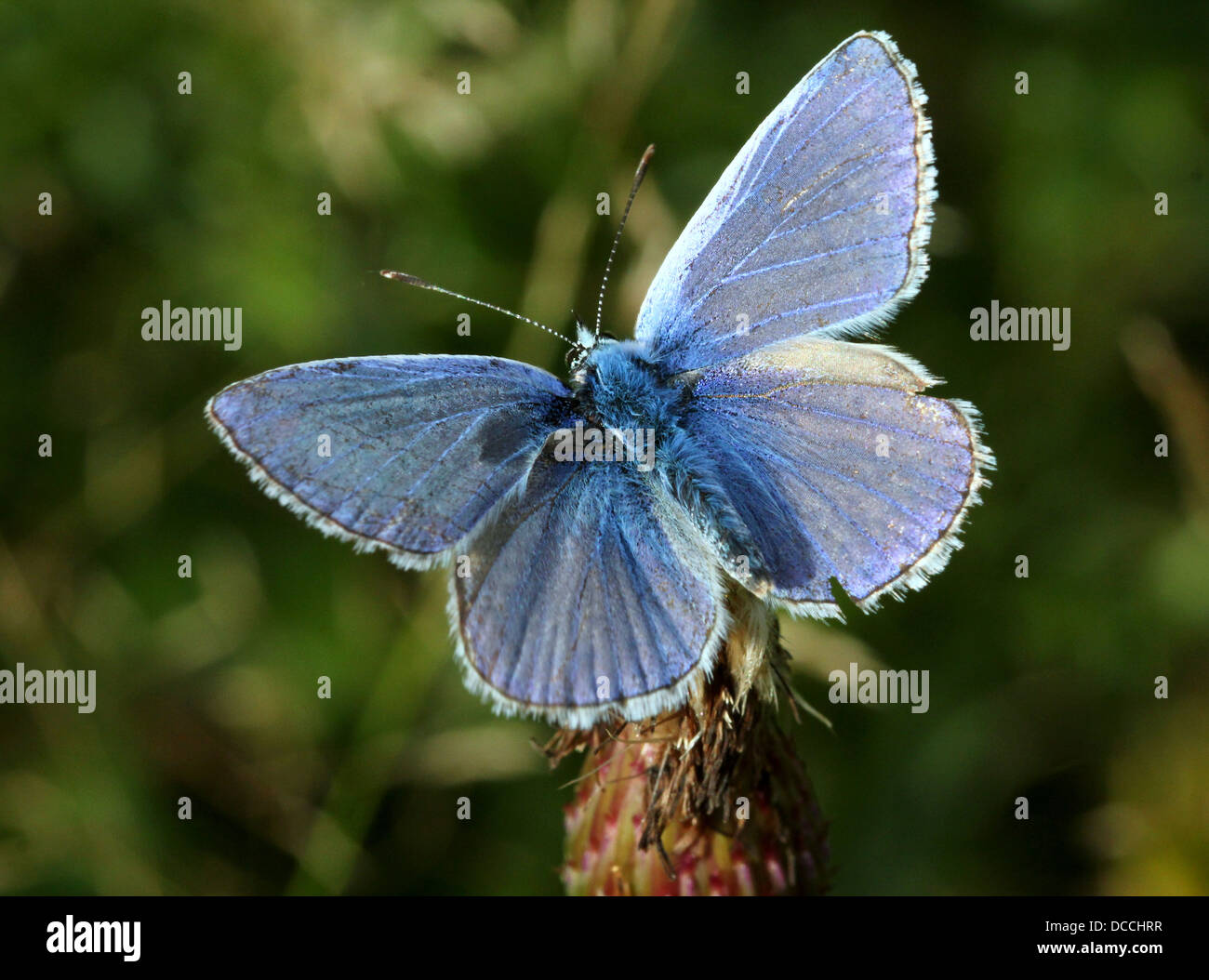 Detailed macro image of  male Common Blue (Polyommatus icarus) butterfly Stock Photo