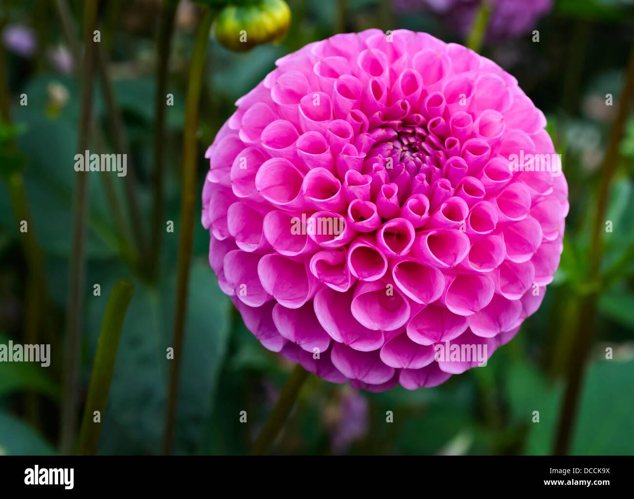 Pink Pom Pom Stock Photos Pink Pom Pom Stock Images Alamy