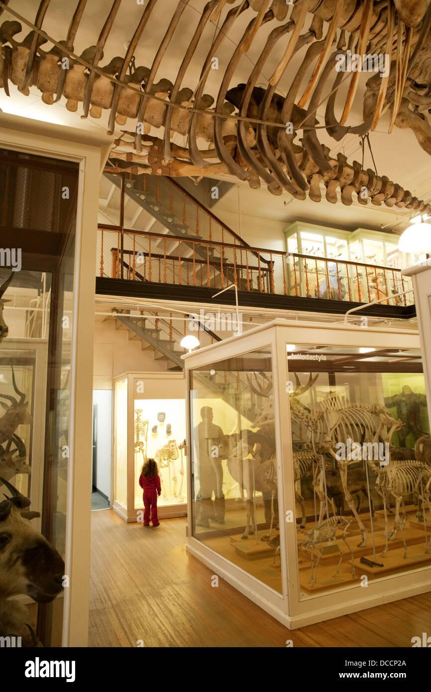 Mammal skeletons, Museum of Natural History, Harvard University, Cambridge, Massachusetts, USA - Stock Image