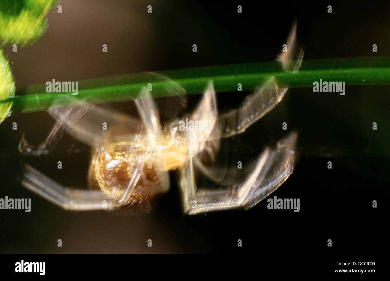 Spider (fam. Theridiidae) - Stock Image