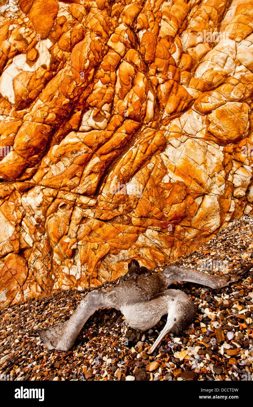 Dead juvenile shag lies on beach beneath richly textured cliff, Onawe Peninsula, Akaroa harbour, Banks Peninsula, - Stock Image