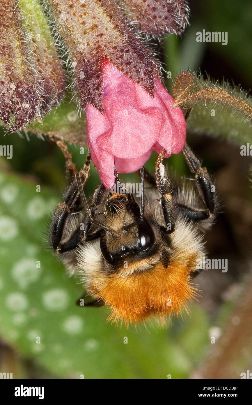 Ackerhummel, Acker-Hummel, Hummel, Bombus pascuorum, syn. Bombus agrorum, common carder bee, Blütenbesuch - Stock Image