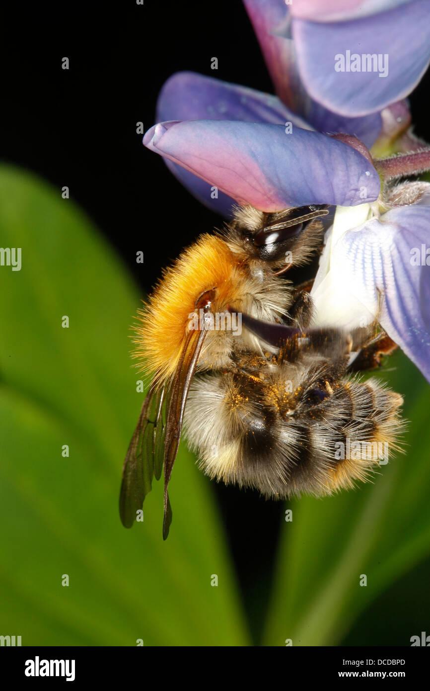 Ackerhummel, Acker-Hummel, Hummel, Arbeiterin, Bombus pascuorum, syn. Bombus agrorum, common carder bee, Blütenbesuch - Stock Image