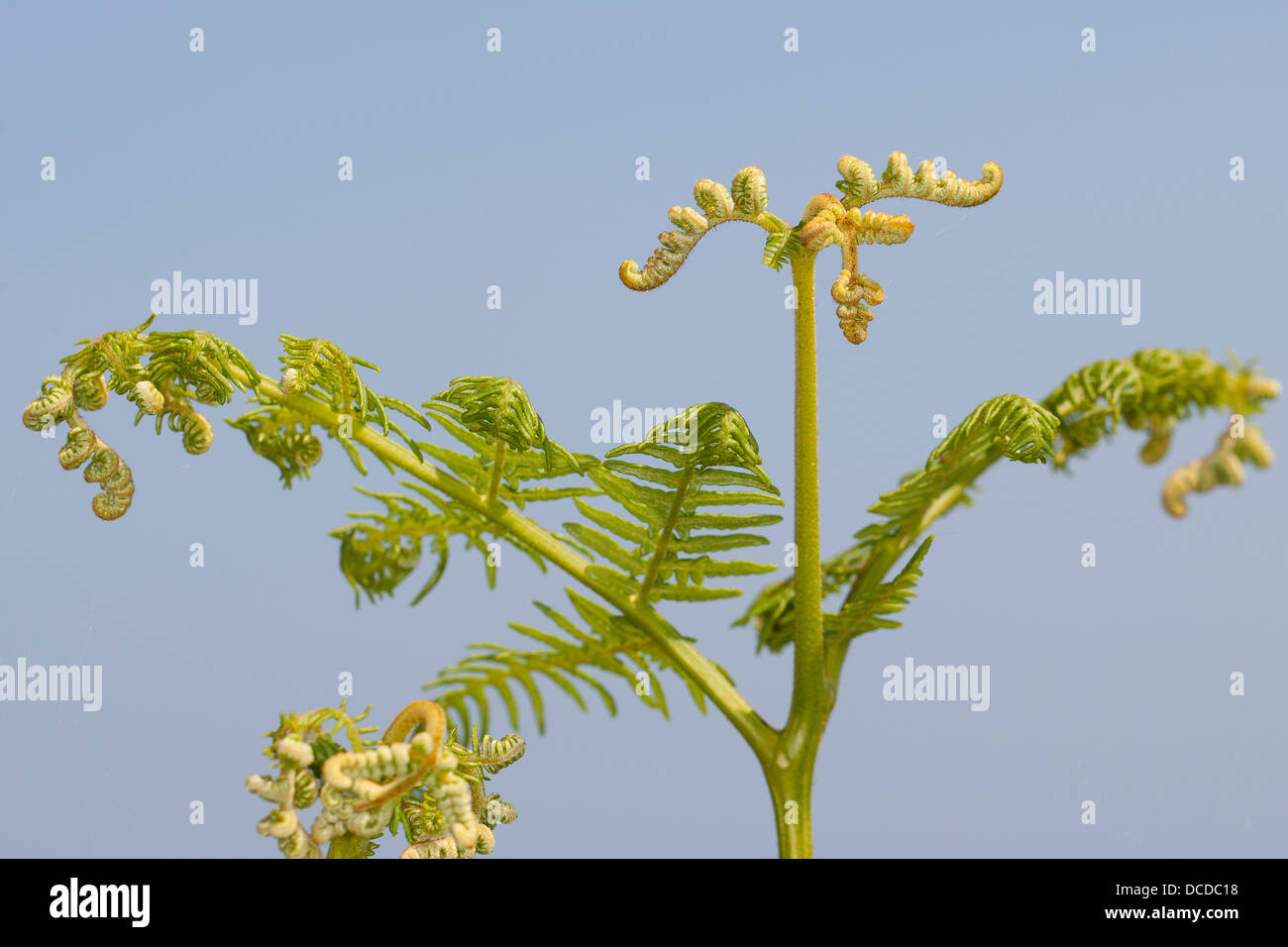 Adlerfarn, Adler-Farn, Pteridium aquilinum, brake, common bracken, eagle fern - Stock Image