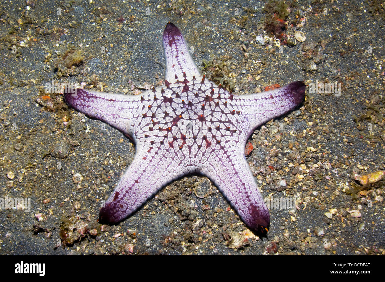 Starfish.  (Not identified).  Lembeh Strait, North Sulawesi, Indonesia. - Stock Image