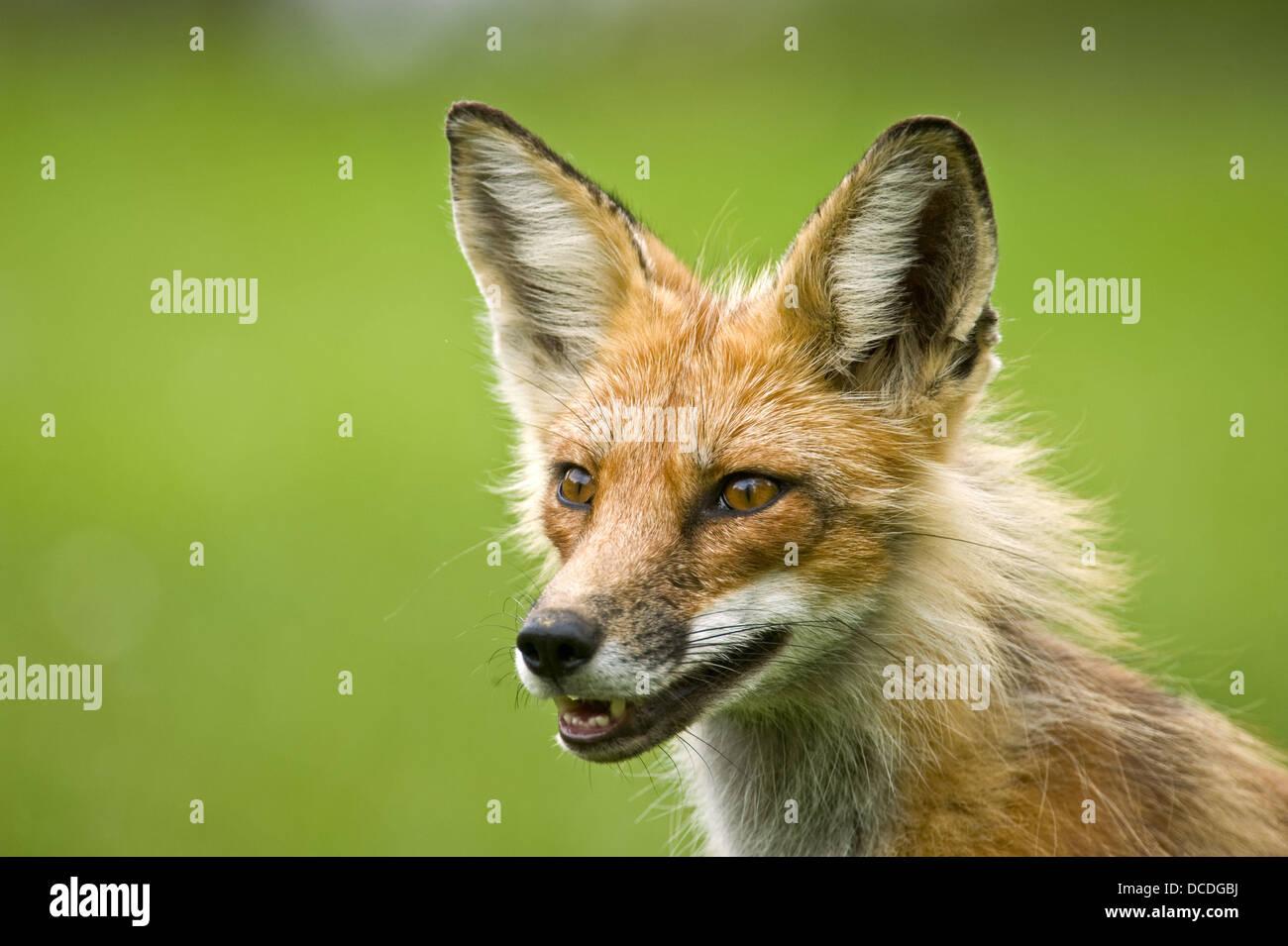 Red fox (Vulpes vulpes) Adult in summer pelage - Stock Image