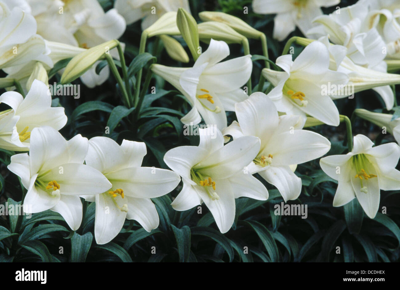 Easter lilies (Lilium longiflorum) blooming in field. Smith River ...