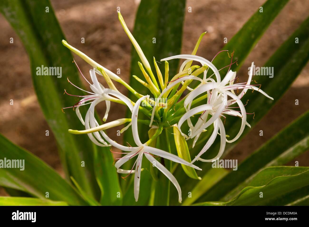 The spider lily flower in creek park dubai uae stock photo the spider lily flower in creek park dubai uae izmirmasajfo