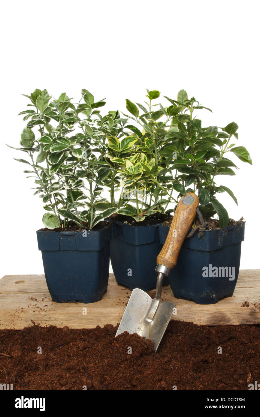Group of Euonymus hedging plants with a garden trowel in soil - Stock Image