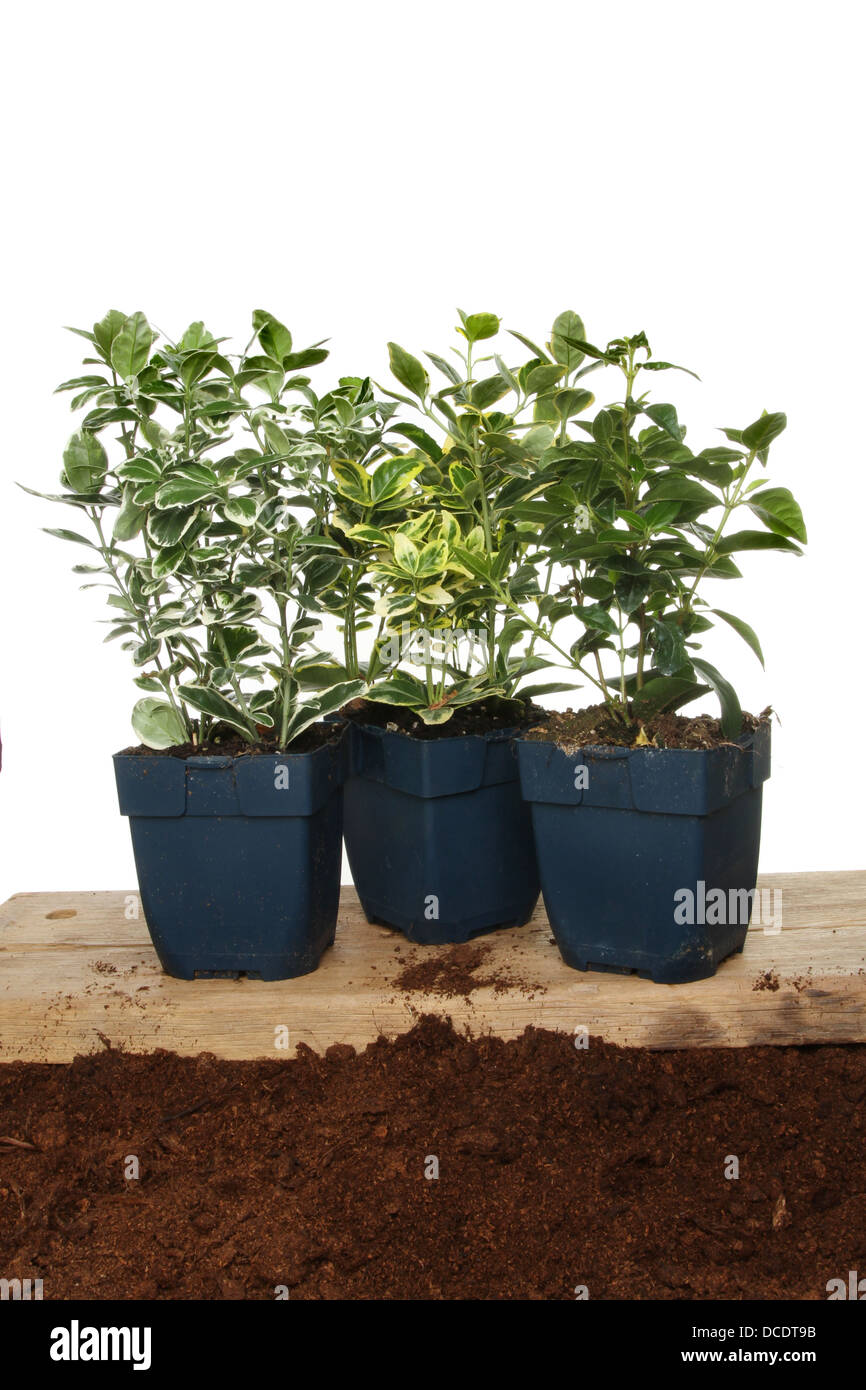 Group of Euonymus hedging plants on a wooden board on soil - Stock Image