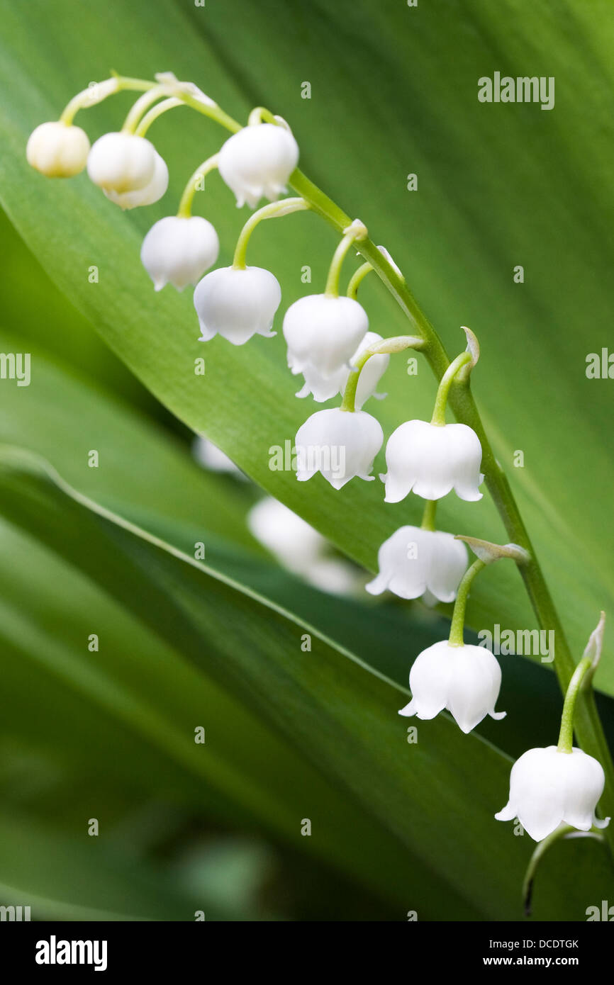 Convallaria majalis bell shaped flowers of lily of the valley stock bell shaped flowers of lily of the valley izmirmasajfo