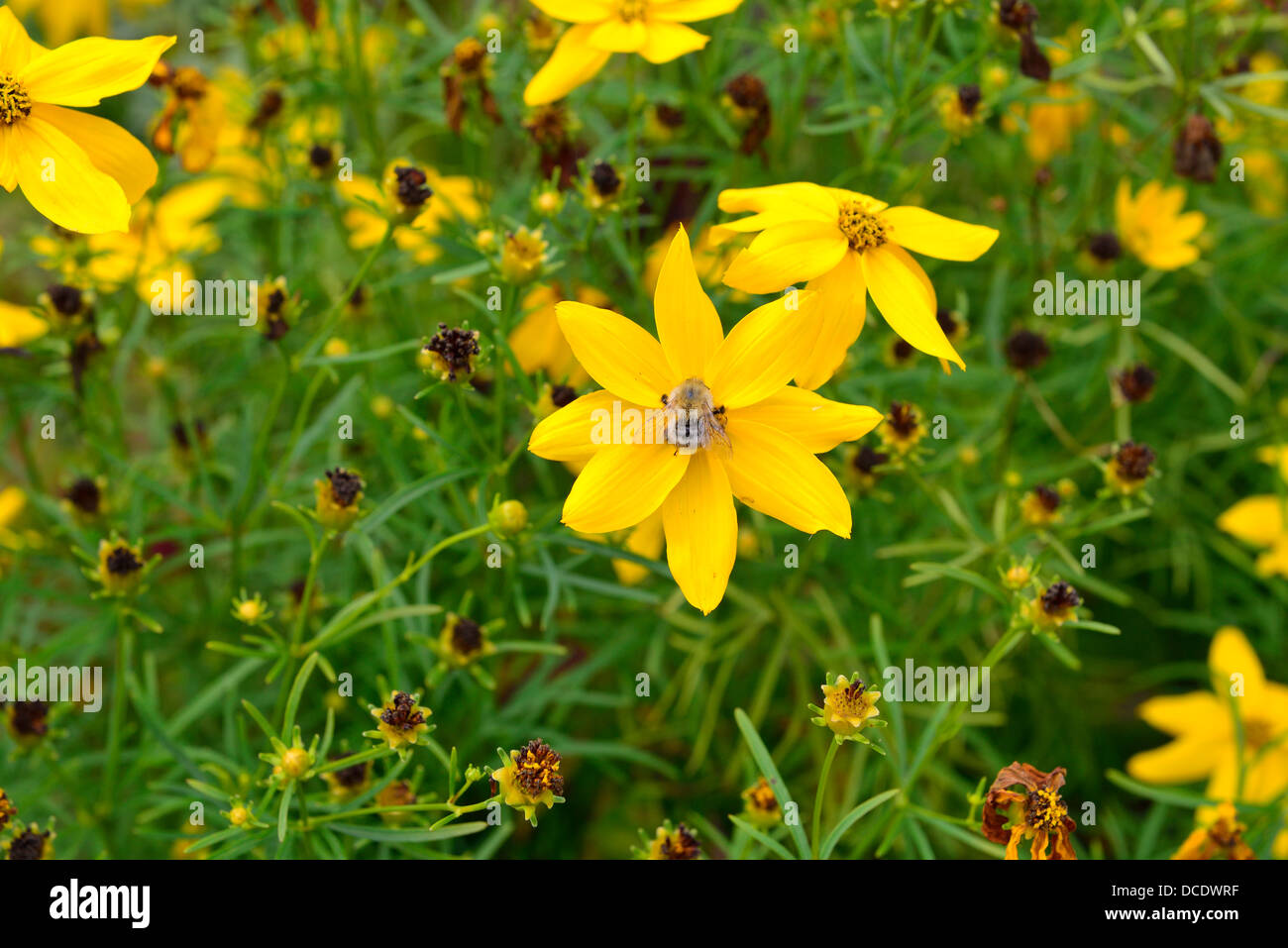 Honey  bees collecting pollen for nectar from  flowers   in a garden Stock Photo