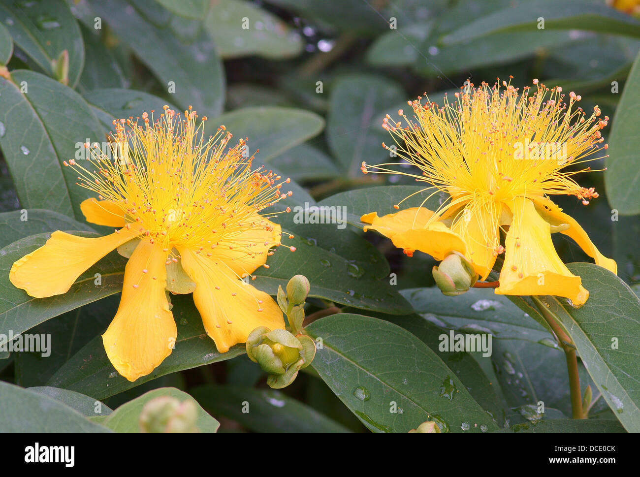 Rose of sharon stock photos rose of sharon stock images alamy yellow flowers of hypericum calycinum rose von sharon stock image mightylinksfo