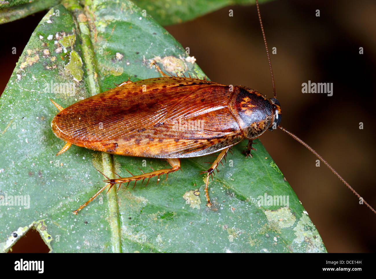 Tropical cockroach - Stock Image
