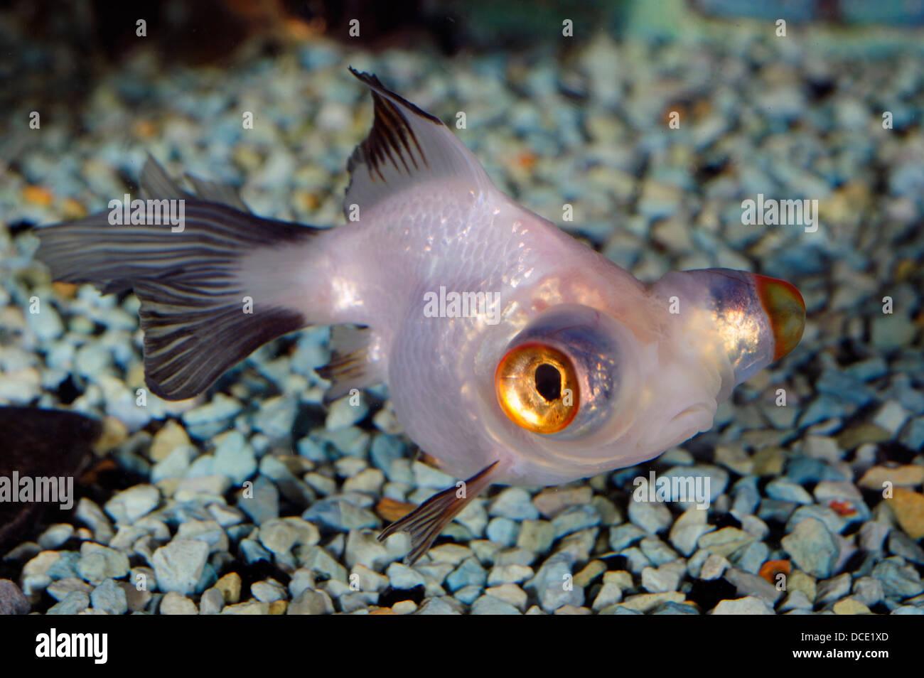 Telescope Eye Goldfish, Carassius auratus auratus 'Telescope Eye', Ciprinidae - Stock Image