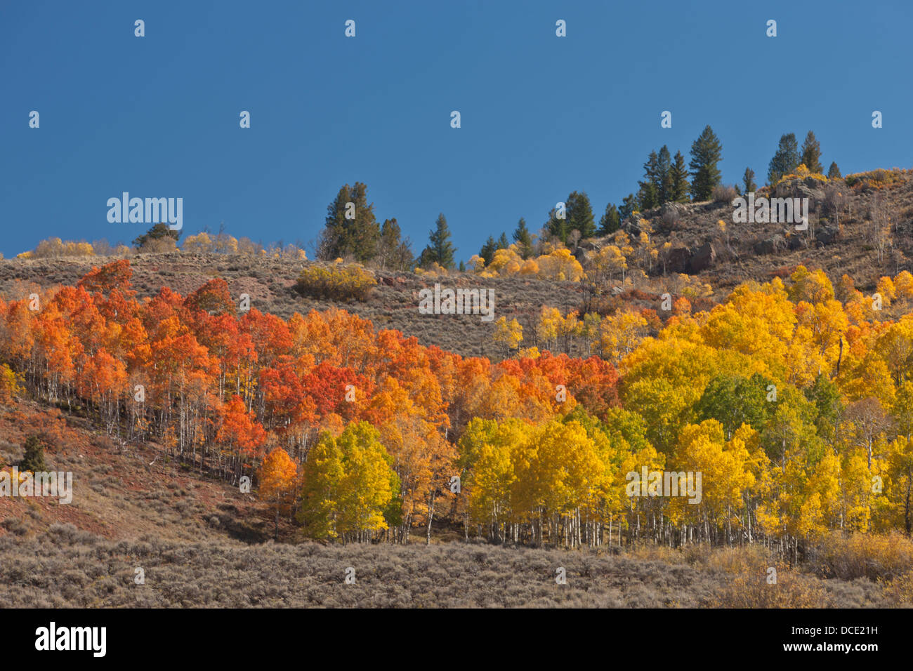 USA, Colorado. A brightly colored aspen (Populus tremuloides) grove in its peak autumn foliage - Stock Image