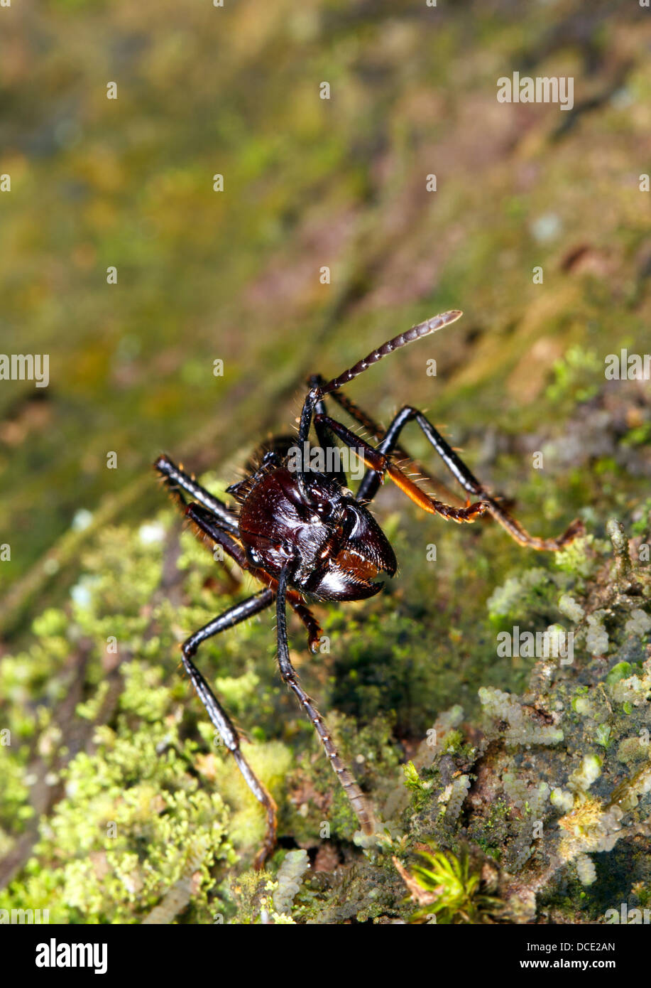 Bullet or Conga Ant (Paraponera clavata) in the rainforest, Ecuador. A dangerous species with a very painful sting. Stock Photo