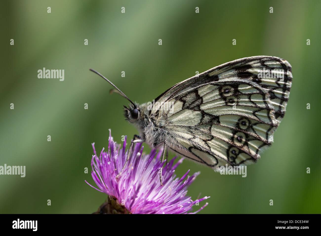 Marbled White butterfly (Melanargia galathea) feeding on knapweed - Stock Image