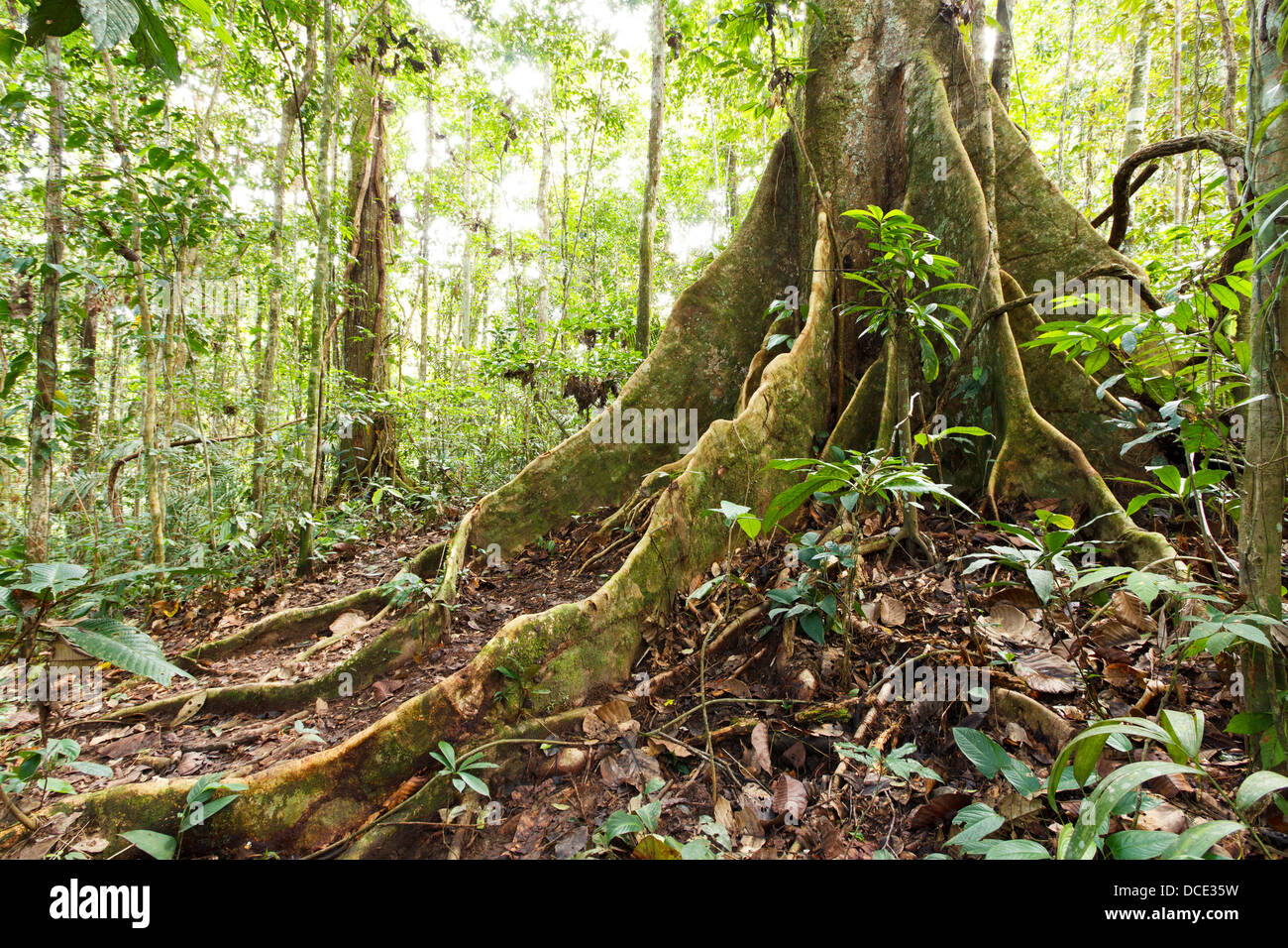 Large tree in primary tropical rainforest with buttress roots, Ecuador Stock Photo