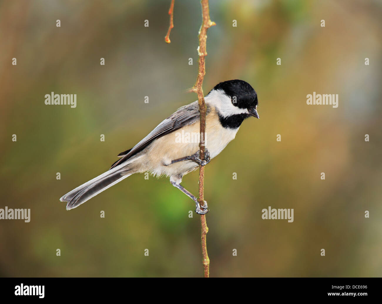 A Small Bird, The Carolina Chickadee Against A Colorful Spring Background, Poecile carolinensis, Posing Nicely - Stock Image
