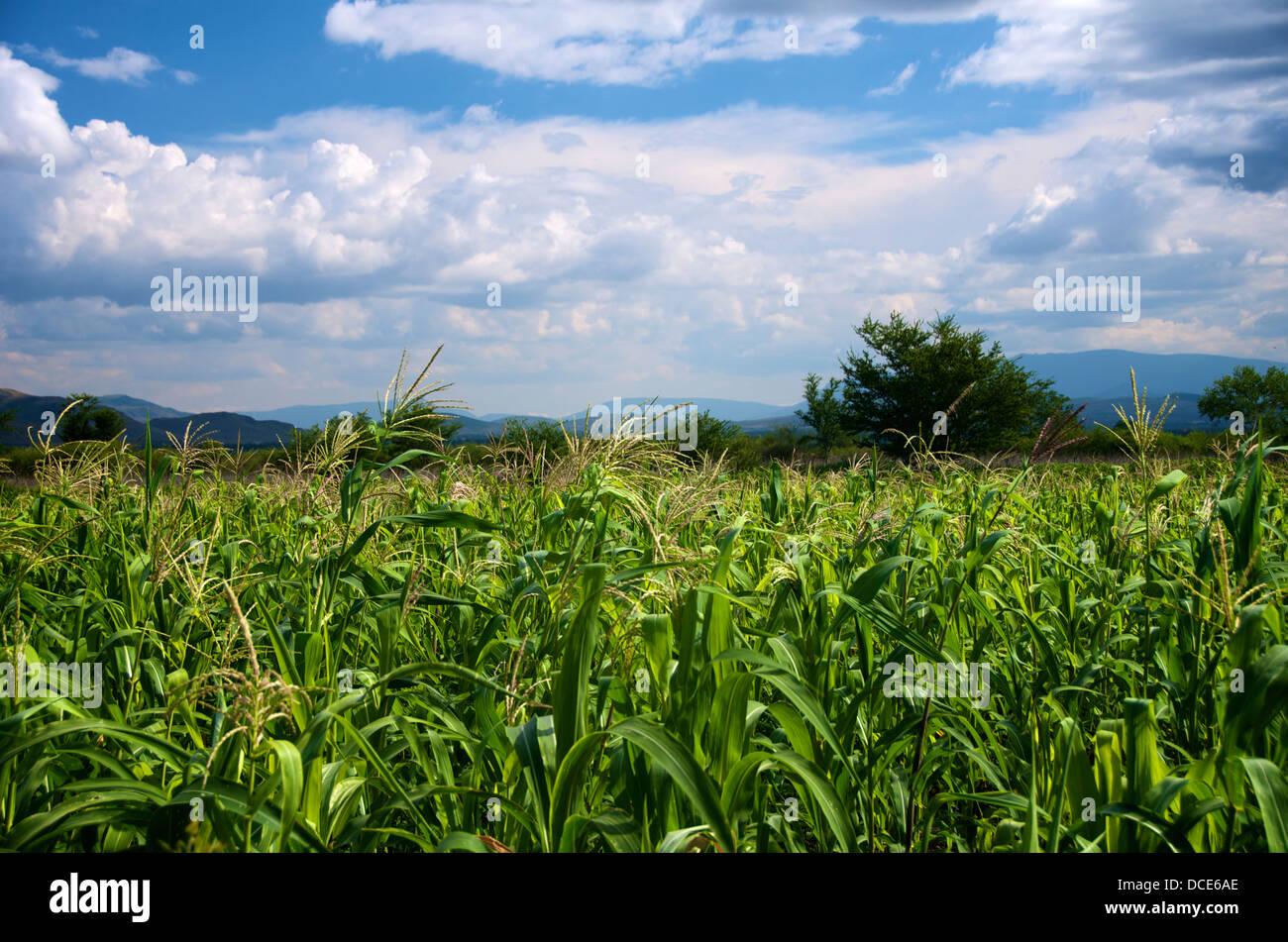 Wheat fiel at Oaxaca, Mexico - Stock Image