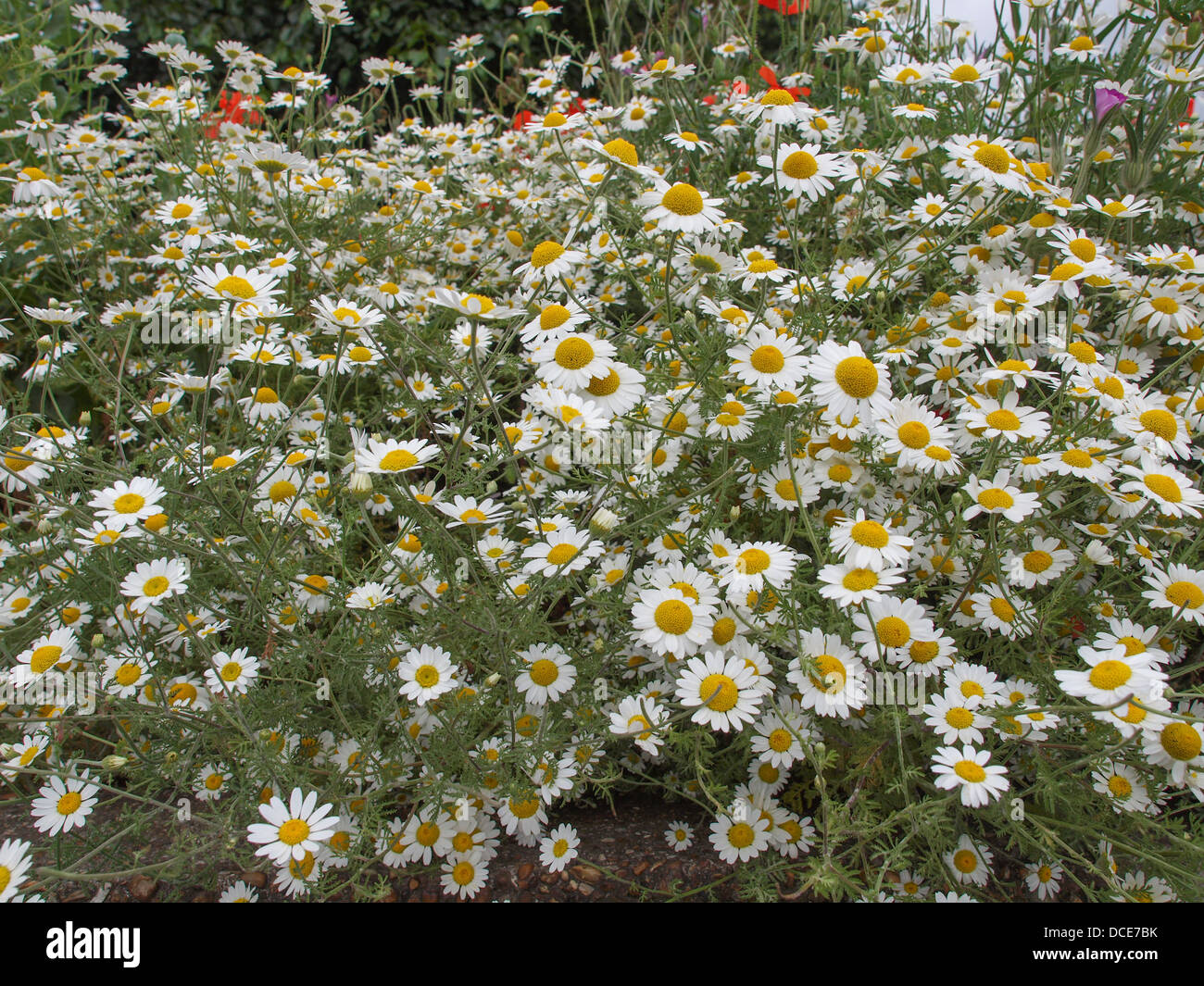 Common daisy Bellis Perennis Plantae Angiosperms Eudicots Asterids Asterales Asteraceae - Stock Image