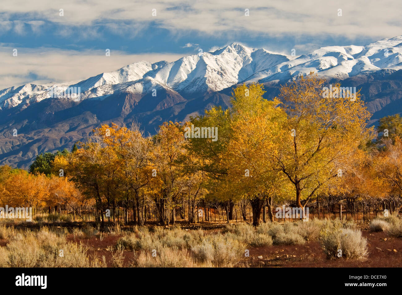 Trees in fall below the White Mountains, at the San Francis Ranch, est, 1861, Bishop, Eastern Sierra, California - Stock Image