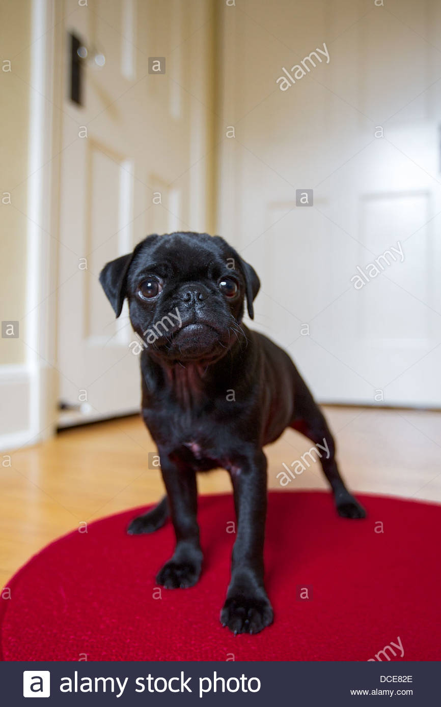Black pug puppy standing on red rug - Stock Image