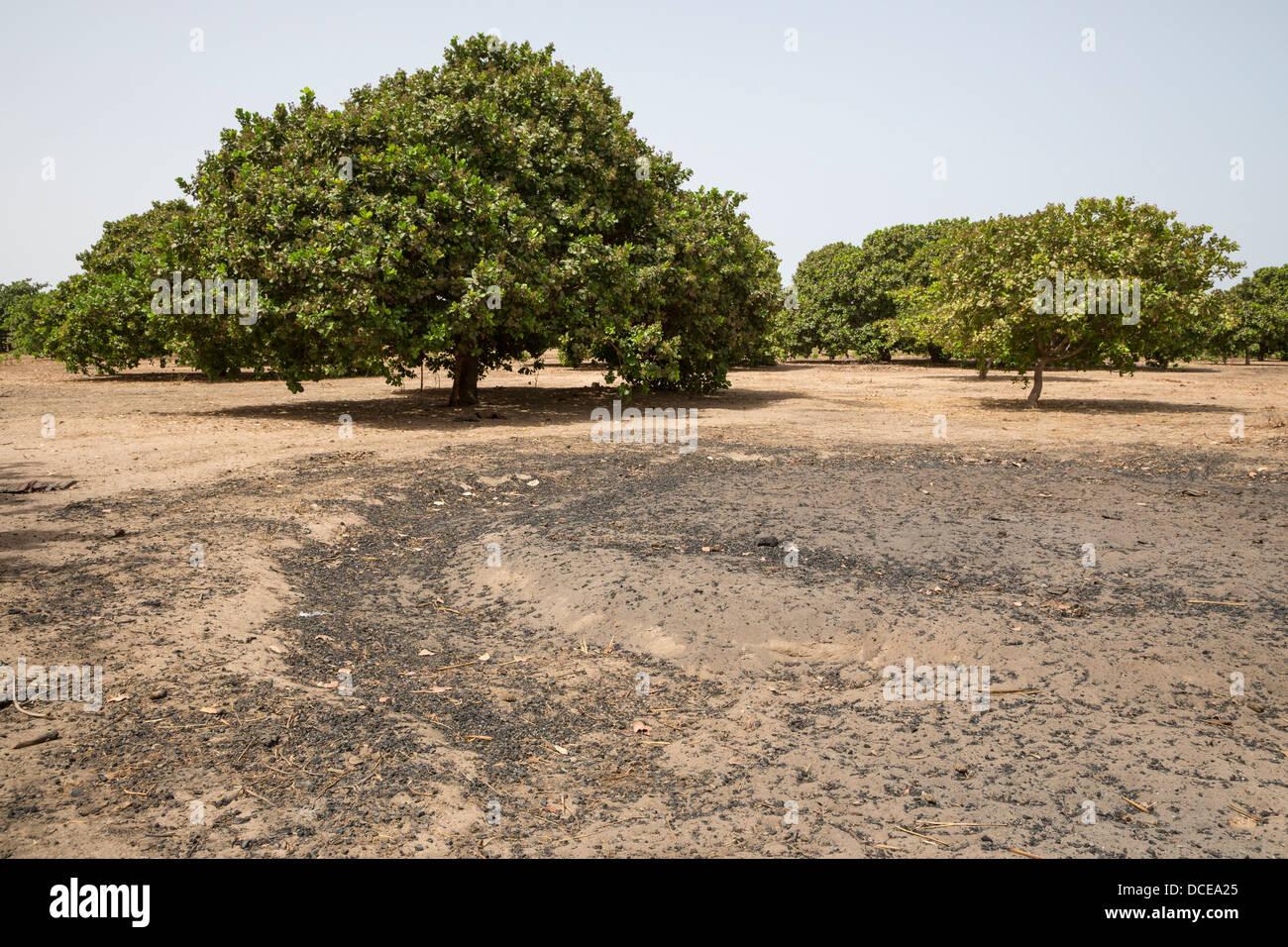 Cashew Nut Trees, near Sokone, Senegal. - Stock Image