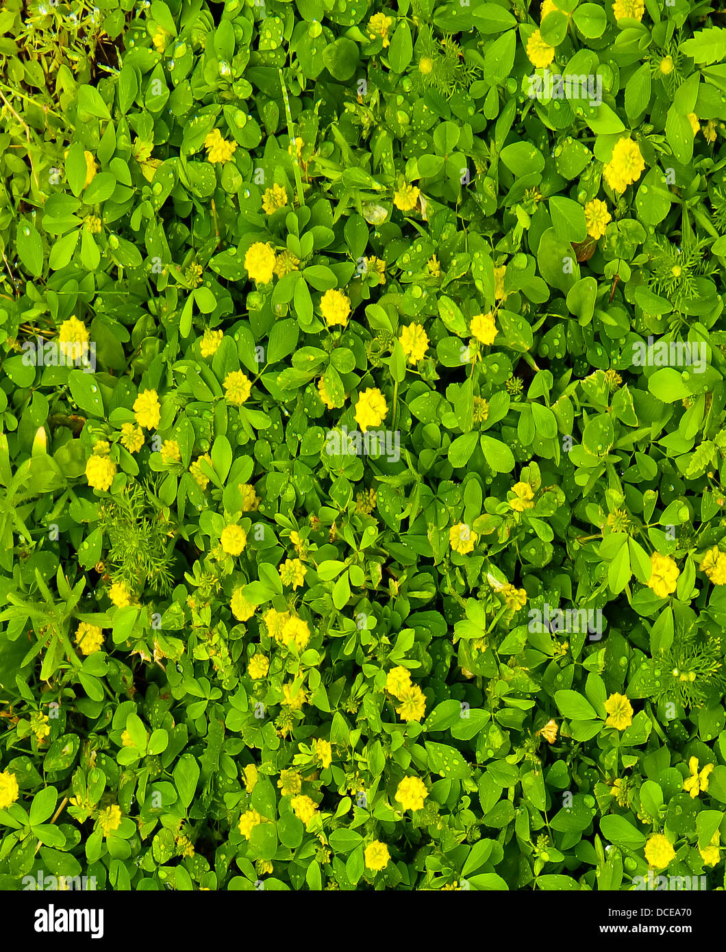 Tiny Yellow Flowers On Green Leaf Background With Water Droplets