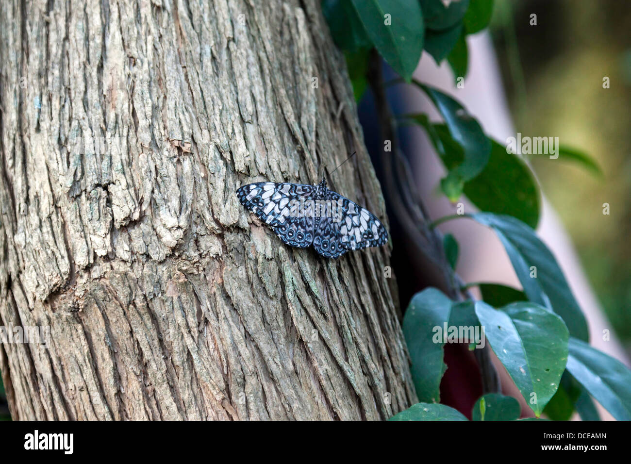Black-patched Cracker (Hamadryas nymphalidae) butterfly on bark of tree trunk. - Stock Image