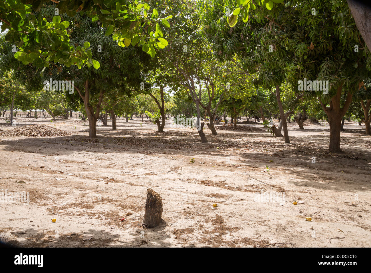 Cashew Nut Farm, Senegal. Example of a Well-tended Farm, free of underbrush and trees with lower branches pruned - Stock Image